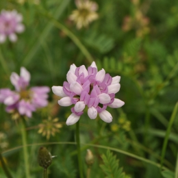 Crown Vetch.